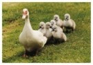 Mike Hollist  -  Victoria the Duck Fosters Ducklings after Their Mo - Postcard -  C9830-1