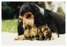 Mike Hollist  -  A Cocker Spaniel Dog Fosters Ducklings after Losin - Postcard -  C9831-1