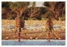 Christophe Corteau  -  Giraffes in Parc National Etosna, Namibia - Postcard -  C9833-1