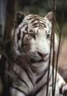 Ron Entius  -  Wite tijger - Postcard -  C9862-1