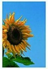 Paul Huf (1924-2002)  -  Sunflower,VvG - Postcard -  QC085-1