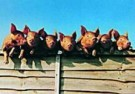 Michael Maloney  -  7 little pigs went to market - Postcard -  QC298-1