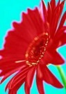 David Beldon  -  Gerbera - Postcard -  QC404-1