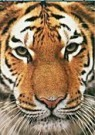 Paul van Gaalen(1948)  -  Siberische tijge - Postcard -  QC410-1