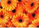 Jack Schopman  -  Oranje Gerbera's - Postcard -  QC437-1
